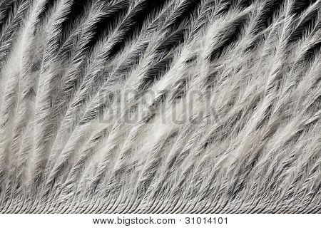 closeup of white ostrich feather