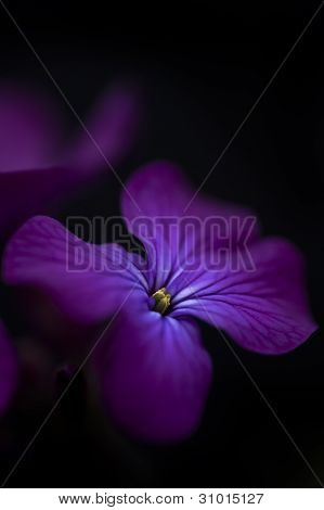 Beautiful Low Key Dramatic Image Of Honesty Flower On Black Background
