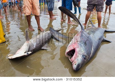 Sharks Caught By Fishermen, Ecuador