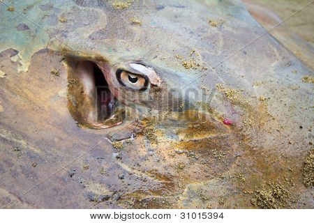 Stingray Eye Closeup