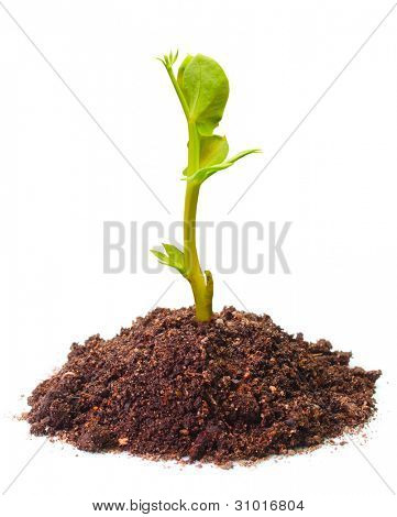 Jungen Keimling eine Erbsen (Pisum Sativum) wächst in einem Boden. Erbsen sind reich an Ballaststoffen, Protein, vitamin