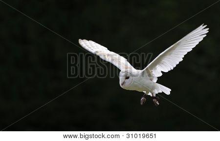 Barn Owl Bird Of Prey In Falconry Display