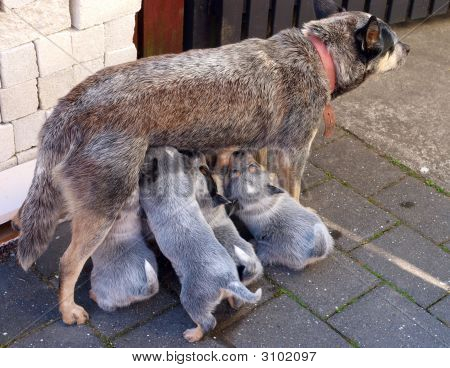 dog nursing