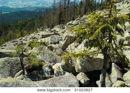 Pine trees in a sea of rocks