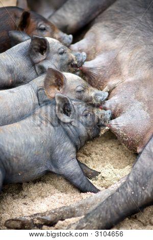 Cute Piglets Suck Their Mother Pig