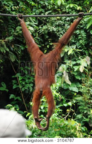 Orang-Utan Hanging From A Wire In Sepilok, Sabah, Borneo