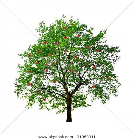 apple tree isolated on white background