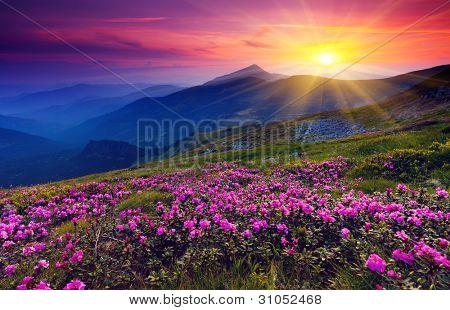 Flores de rododendro Rosa mágico en la montaña del verano