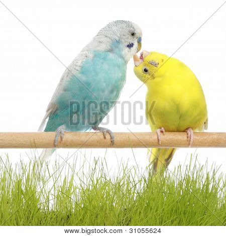 Budgerigars Kiss, Isolated On White
