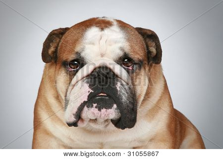 English Bulldog On Grey Background