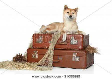 Shiba Inu Dog On White Background