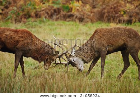 Red Deer Stags justas com chifres no Outono Outono floresta prado