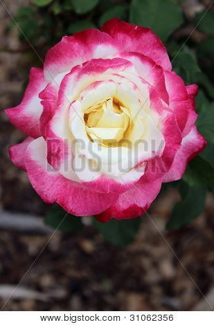 Double Delight Tea Rose Hybrid