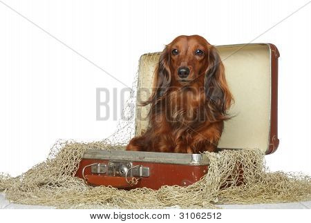 Dachshund Brown In Old Suitcase