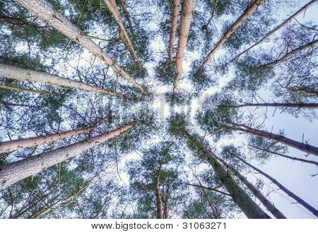 View Looking Up To Sky Through Tall Pine Trees Canopy