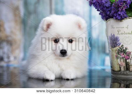 poster of Beautiful white dog Spitz - japanese spitz , dog cute pet happy smile in flowers