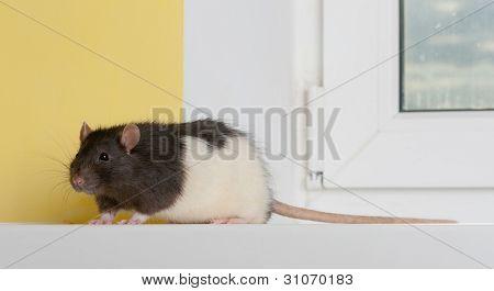 Rata en un alféizar de la ventana