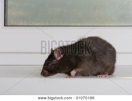 Rata doméstica