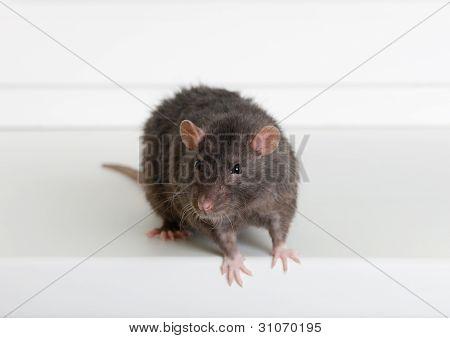 Rata negra doméstica
