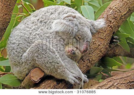 Koala with Baby