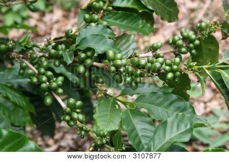 Coffee Plant With Fresh Coffee Beans