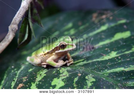 Poisonous Frog In A Frog Pond