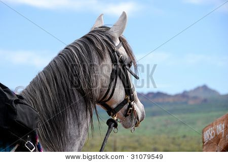 Gray Horse Waiting For Next Ride Into The Desert