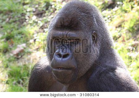 african western lowlands gorilla