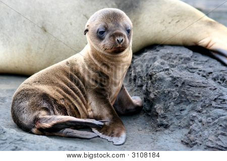 Sea Lion Puppy, Galapagos