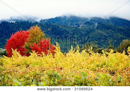Coloured Autumn Vineyards