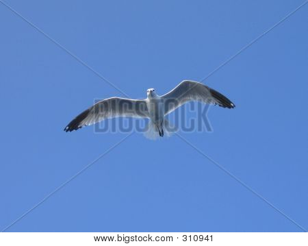 Watcher Gull