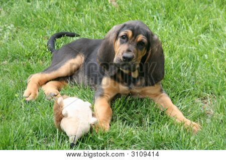 Bloodhound In The Grass