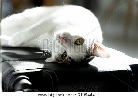 poster of Adorable White Domestic Cat Lay Down With Cute Face On Travel Carry On Baggage Before Travel Day Usi