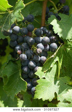 Um cacho de uvas de Cabernet Sauvignon