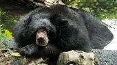 Asiatic Black Bear (ursus Thibetanus, Himalayan Black Bear) Sleep  In The Pool poster