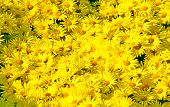 Yellow Flowers. Chrysanthemums Daisy Flowers Background Yellow Pattern. Yellow Flowers Bouquet Brigh poster