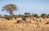 Herd Of Amazing Zebras On Savannah Plains In Tsavo East Park, Kenya poster
