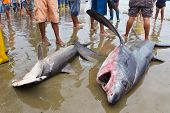 stock photo of bigeye  - Bigeye thresher shark and hammerhead shark landed on beach by fishermen in Puerto Lopez Ecuador - JPG