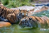 The Indian Tiger (panthera Tigris Tigris), Also Called The Bengal Tiger, Is The Most Numerous Tiger  poster