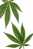 pic of rastaman  - Cannabis leafs isolated at the white background - JPG