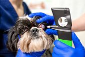 A Veterinary Ophthalmologist Makes A Medical Procedure, Examines A Dogs Eyes With The Help Of An Op poster
