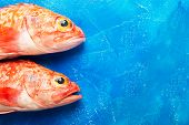 Sebastes Or Red Sea Bass On Blue Background poster