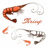 Hand Drawn Engraved Ink Shrimp Or Prawn Illustration Isolated On White. Vector Prawn Line And Color  poster