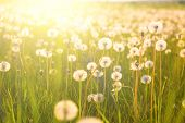 Dandelion On The Meadow At Sunlight Background In Springtime. Dandelions In Meadow During Sunset. Me poster