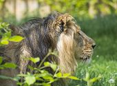 Close Up Portrait In Profile Of Head An Asiatic Lion, Panthera Leo Persica, Walking In The Grass The poster