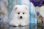 Beautiful white dog Spitz - japanese spitz , dog cute pet happy smile in flowers poster