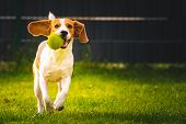Beagle Dog Fun In Garden Outdoors Run And Jump With Ball Towards Camera. Dog Background. Copy Space poster