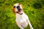 Beagle Dog Jumping On Two Feet With Mouth Open. View From Above poster