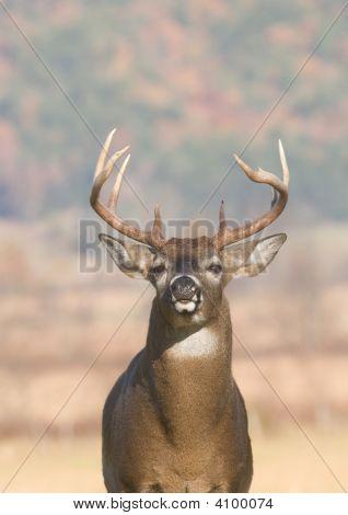 Whitetail Buck Portrait