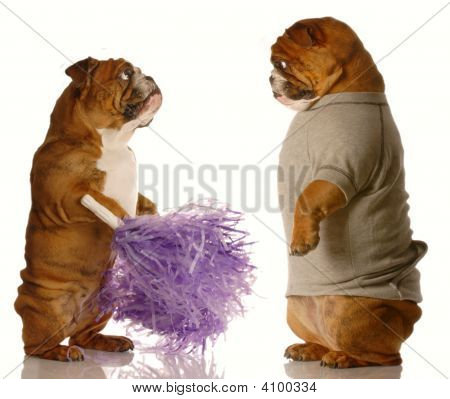 Bulldog With Pompoms And Bulldog Sweatsuit